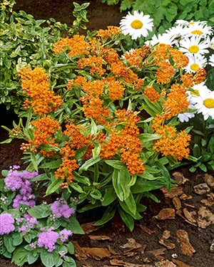 garden design with butterfly weed