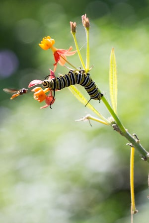 monarch caterpillar hunted by native bee