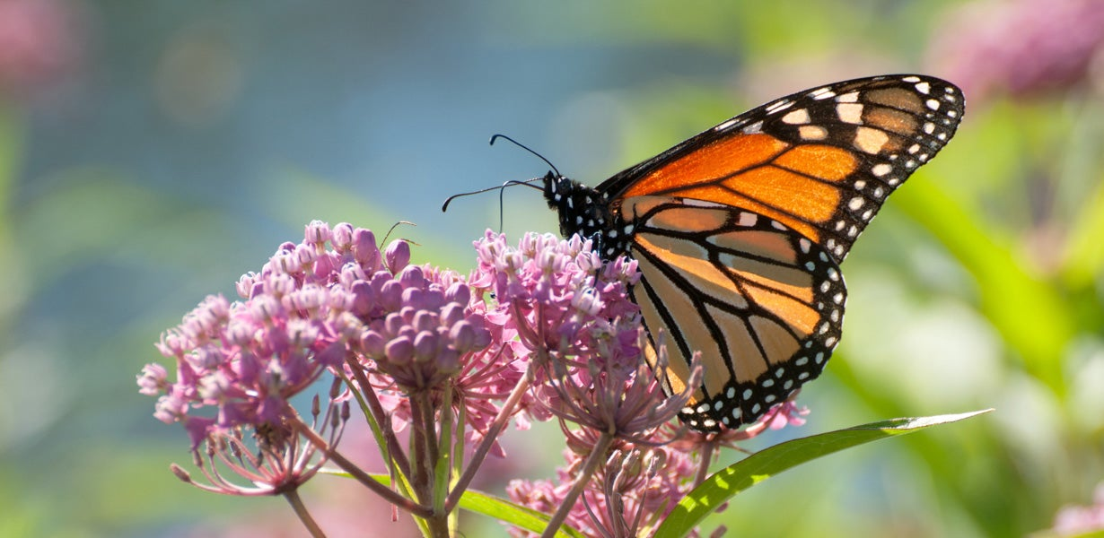 monarch drinking nectar on swamp milkweed