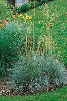 How to choose the best ornamental grasses blue oat grass workwithnaturefo