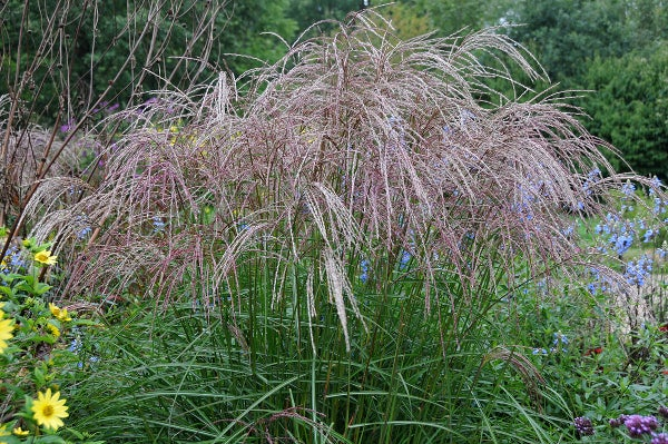 ornamental fountain grass