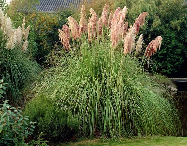 Pink Feather Pampas Grass
