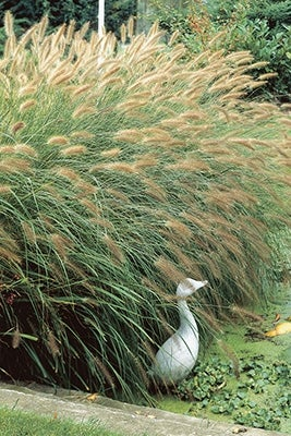 Hameln Small Fountain Grass Pennisetum