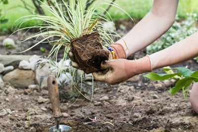 planting ornamental grass