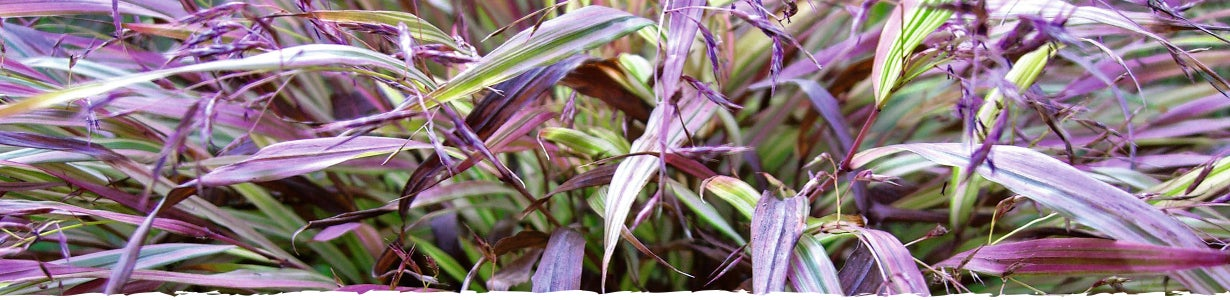 How to grow ornamental grass for Ornamental grasses that bloom