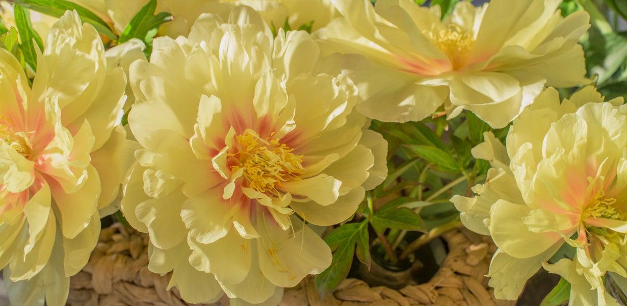 Bartzella itoh peony in bloom