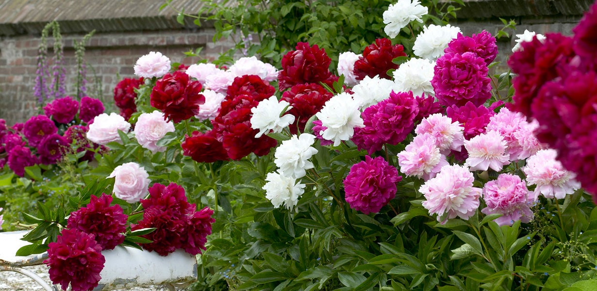 garden peonies in bloom