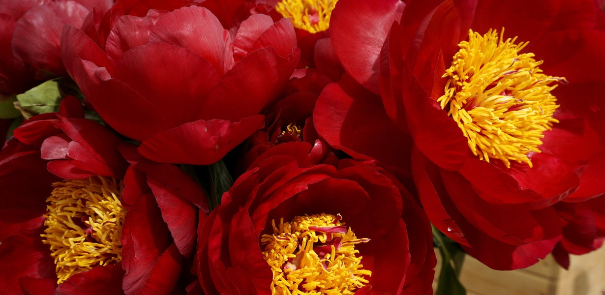 Scarlet Heaven Itoh peonies in bloom.