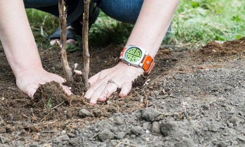 planting bare root tree peonies