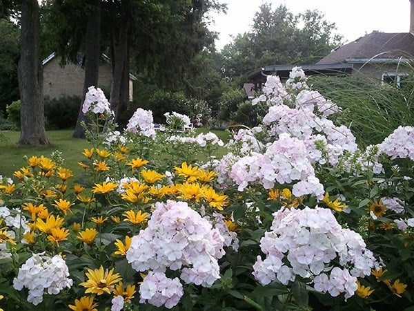 white david phlox planted with yellow coreopsis