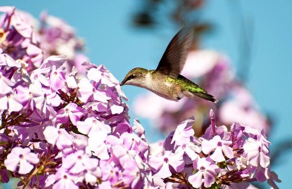 a hummingbird visits a phlox flower