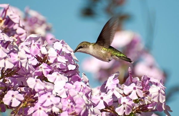 Ruby Throated Hummingbird with Pink Profusion Phlox