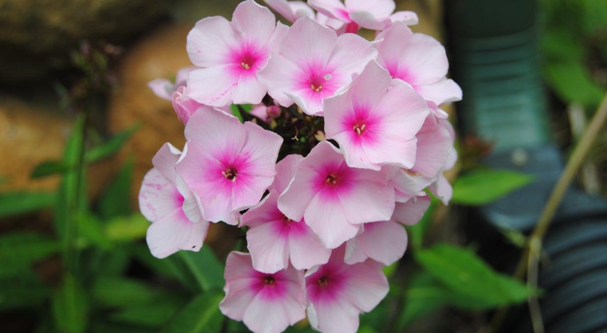 pink garden phlox in bloom