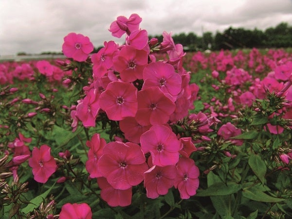 Red Super Garden Phlox
