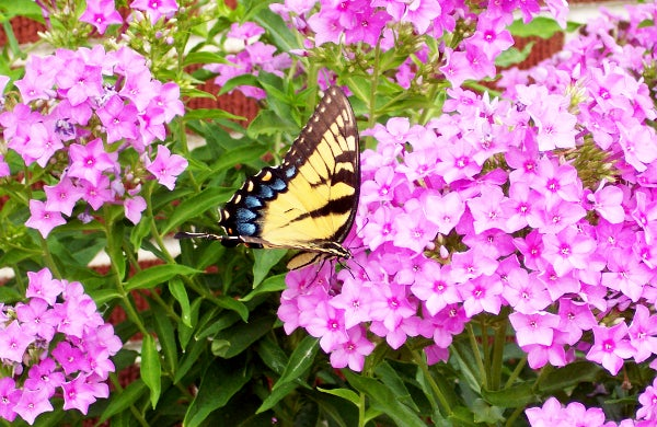 a swallowtail butterfly visits a phlox bloom