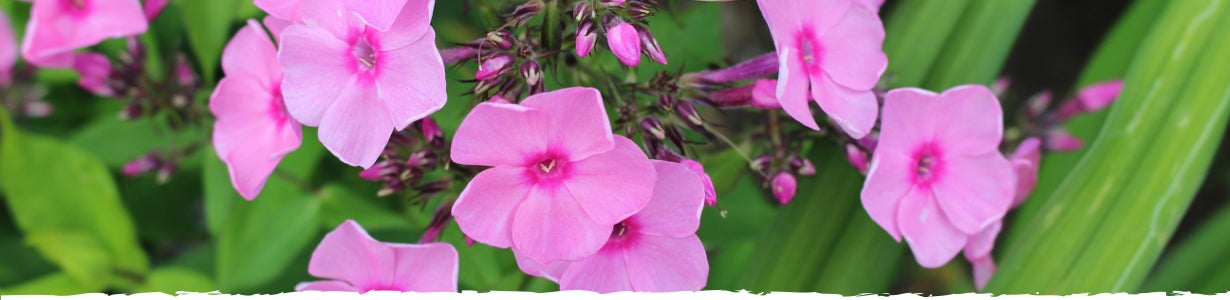 all about phlox banner