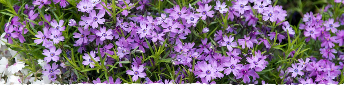 how to grow phlox banner