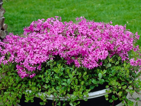 creeping phlox home fires planted in a container