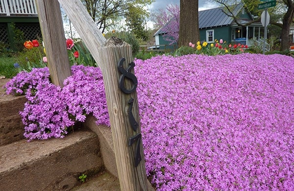 creeping phlox trailing down a slope