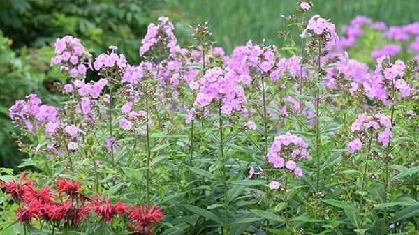 Tall garden phlox in bloom with red beebalm