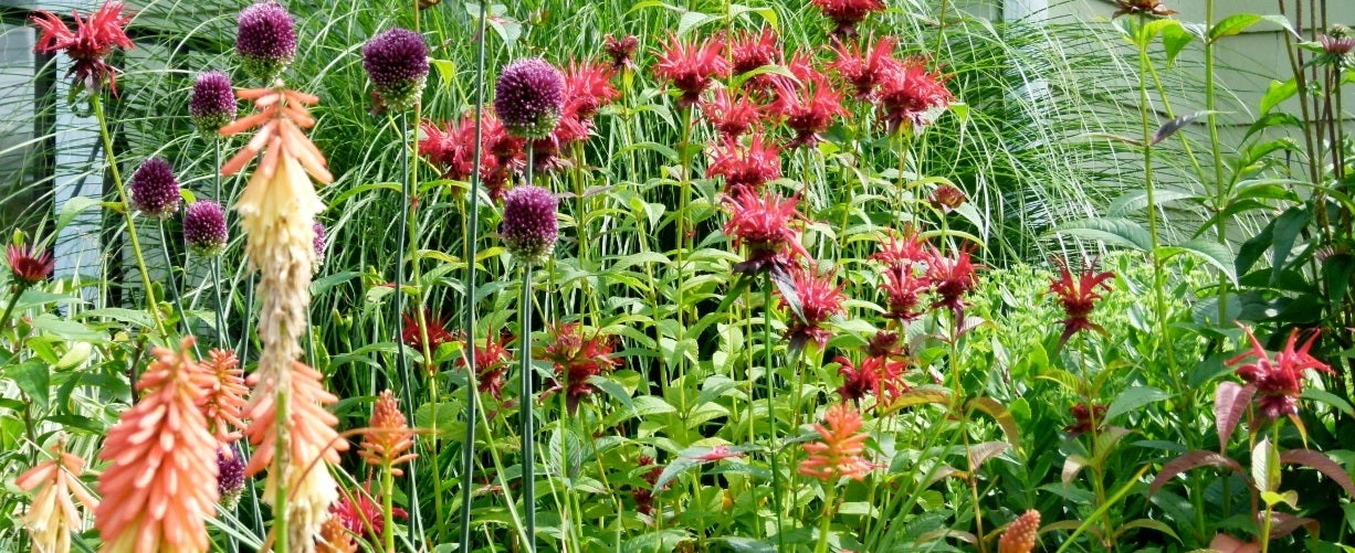 Red Hot Poker with Allium and Red Spider Lilies
