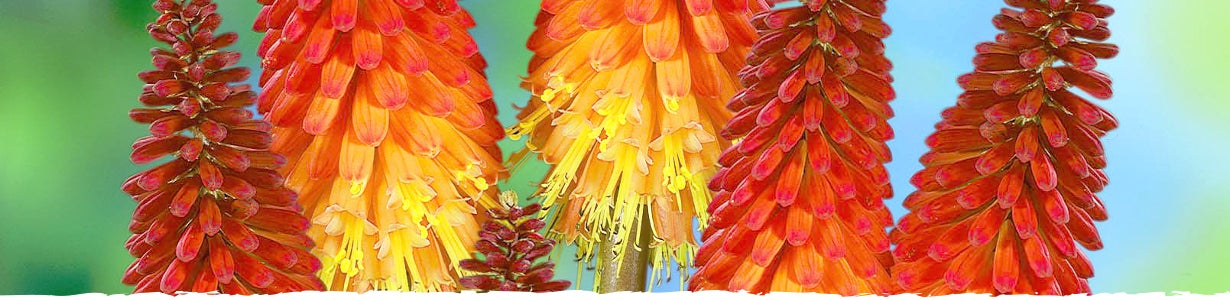 All about Red Hot Poker Banner