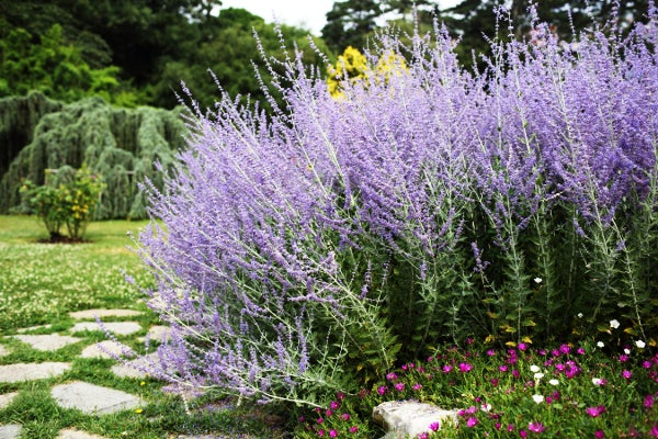Stand of Russian Sage in the garden