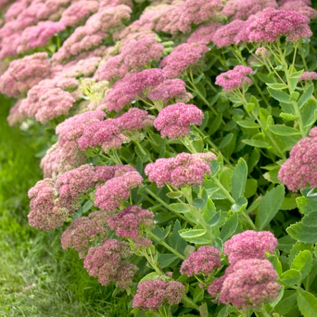 Sedum Autumn Joy is a pink/red blooming variety
