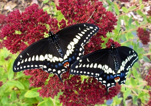 Sedum with Butterflies
