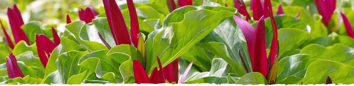 How to Grow Trillium banner