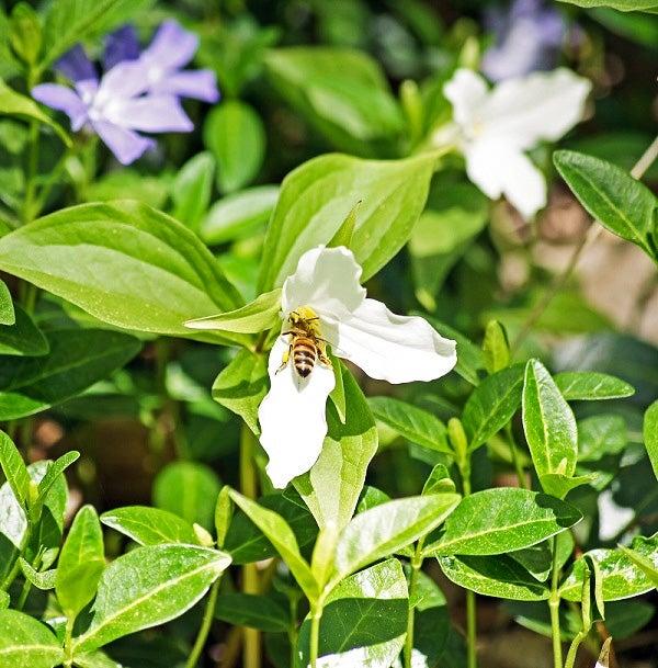 Bee visits White Trillium