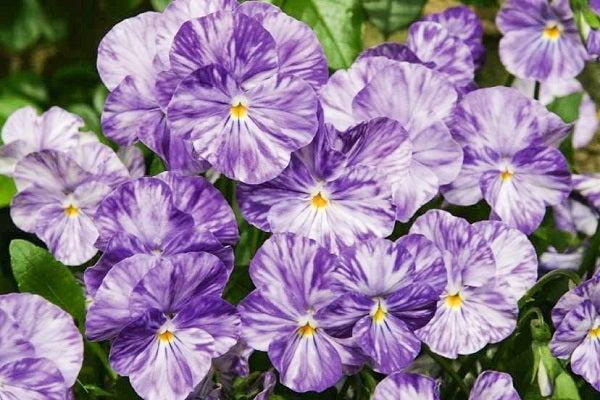 Viola Columbine in bloom