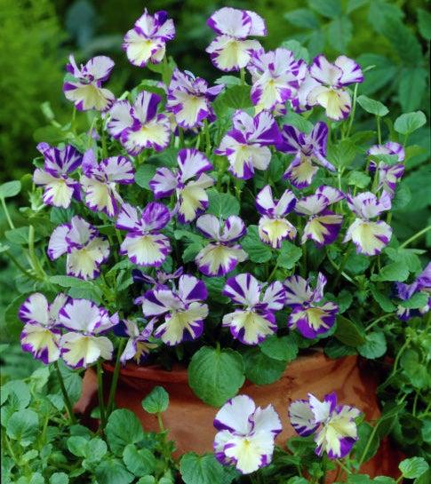 Rebecca Viola in bloom