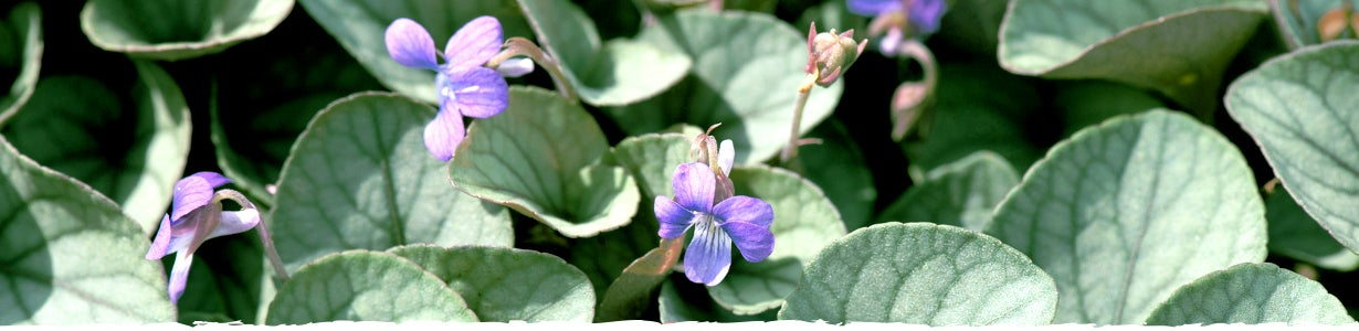 How to Grow Viola banner