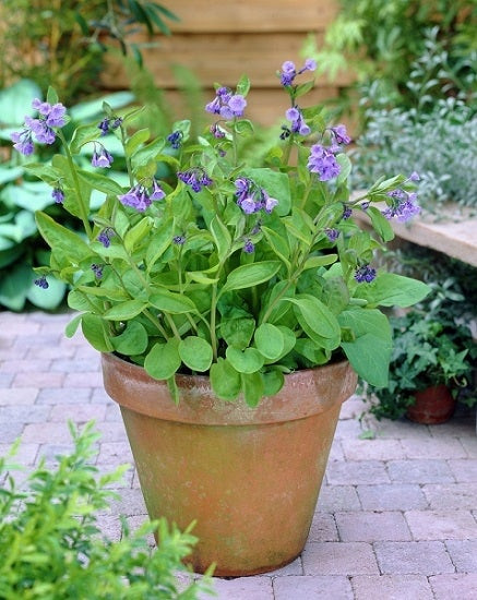 Virginia Bluebells in a container