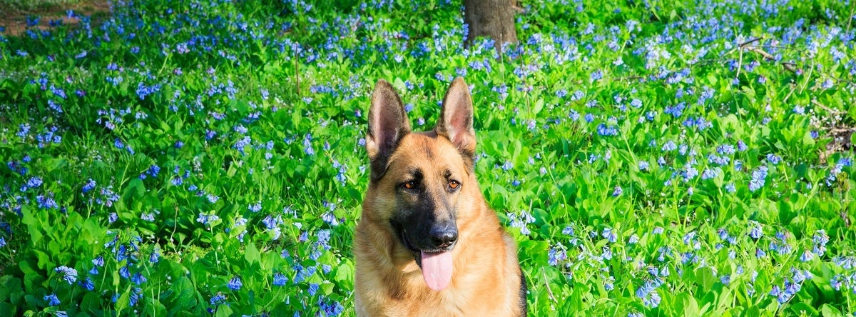 Virginia Bluebells with Dog Banner