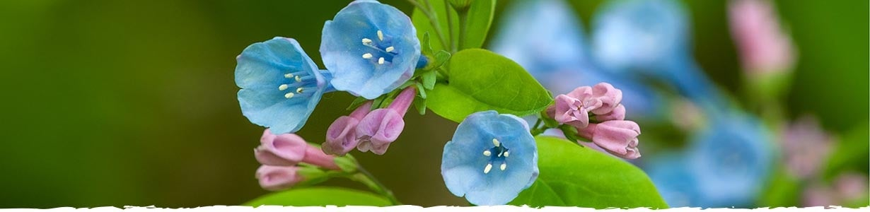 All About Virginia Blue Bells Banner