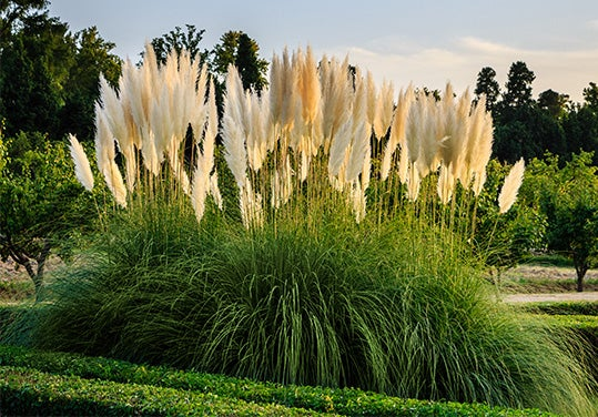 Perennial Plants Gardens American Meadows