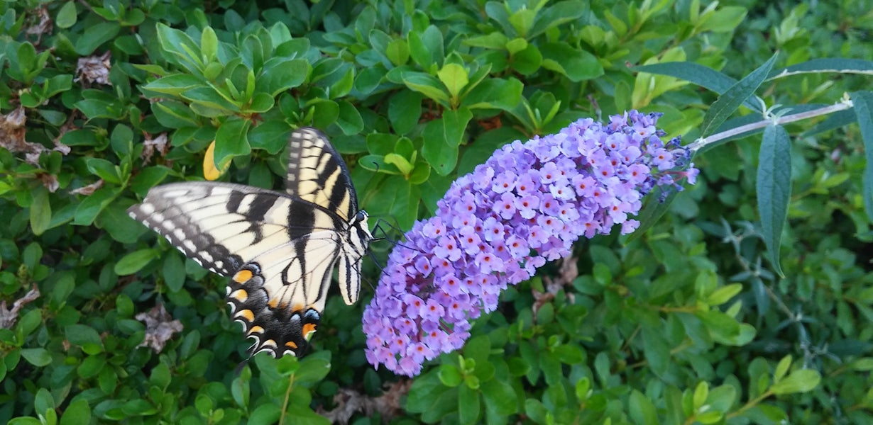 Swallowtail Butterfly On Butterfly Bush Bloom