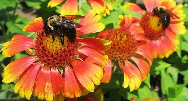 Bee pollinates Orange and Red Gaillardia