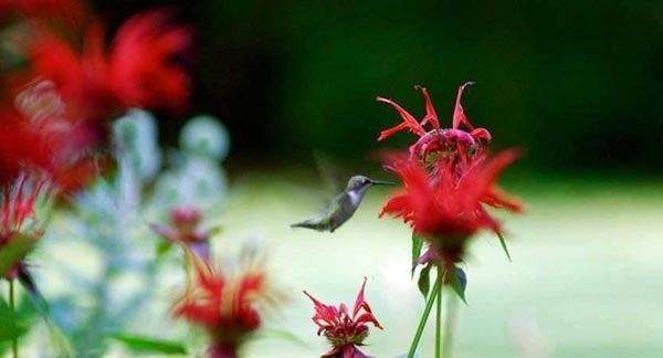 Hummingbird visits red Bee Balm
