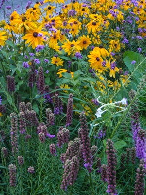 natve lupine and rudbeckia in bloom