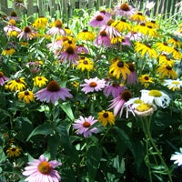 Purple Coneflower Black Eyed Susan