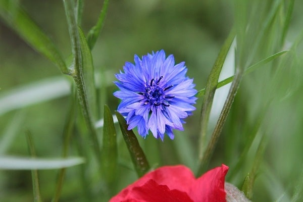 Blue Bachelor Button Blue Centaurea