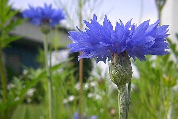 Blue Cornflower or Bachelor Button
