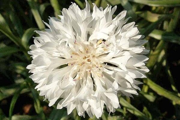 White Cornflower or Bachelor Button