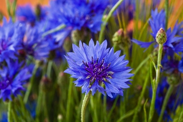 Bachelor Button or Blue Cornflower