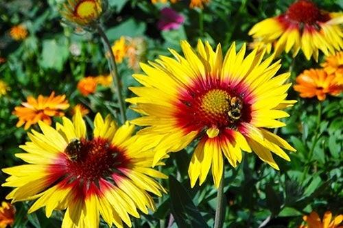 Top perennial plants for wildflower meadows perennial gaillardia in bloom mightylinksfo