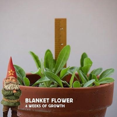 4 week old blanket flowers