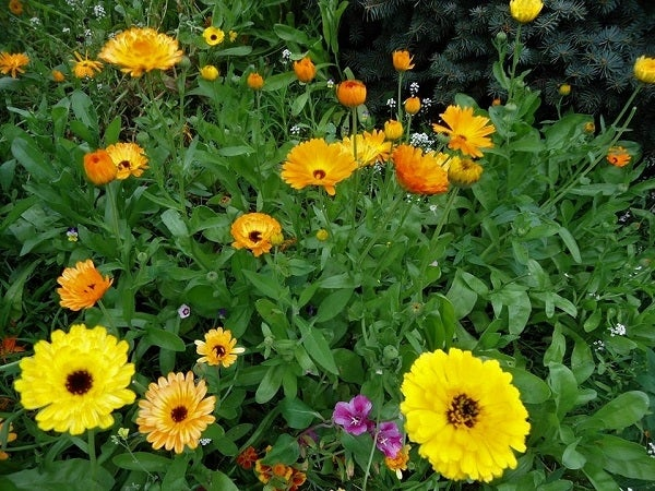 Calendula mixed with various Wildflowers